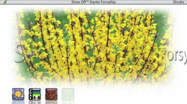 Proven Winners® Gardener Channel: Proven Winners® Show Off Starlet