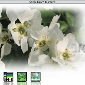 Proven Winners® Gardener Channel: Proven Winners® Snow Day™ Blizzard