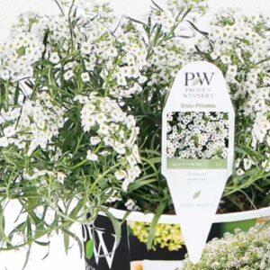 Proven Winners® Gardener Channel: Proven Winners® Snow Princess™ Lobularia