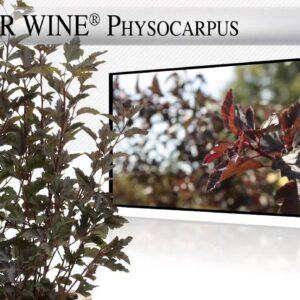 Proven Winners® Gardener Channel: Proven Winners® Summer Wine® Physocarpus