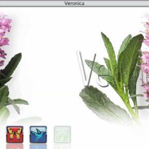 Proven Winners® Gardener Channel: Proven Winners® Veronica
