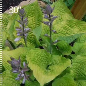 Proven Winners® Gardener Channel: - SHADOWLAND 'Coast to Coast' Hosta
