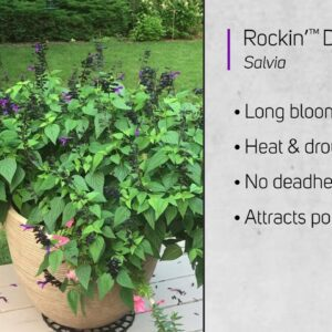 Rockin Deep Purple Salvia...and a hungry hummingbird!