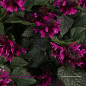 Rockin' Salvias from Proven Winners