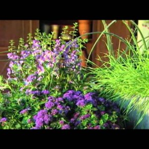 Proven Winners® Gardener Channel: Proven Winners® Angelface® Blue Angelonia