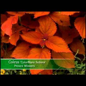 Proven Winners® Gardener Channel: Proven Winners® ColorBlaze® Sedona Coleus