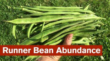 Runner Bean Abundance