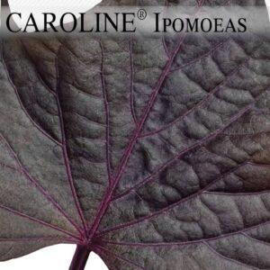 Proven Winners® Gardener Channel: Proven Winners® Sweet Caroline and Illusion® Ipomoeas