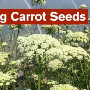 Saving Carrot Seeds