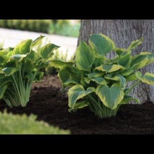 Seducer Hosta--wonderful color and texture for the shade!
