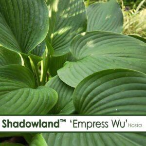 Shadowland 'Empress Wu'--A P Allen Smith Favorite!