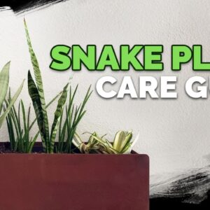 """Snake Plant Care: How to Grow The """"Mother In Law's Tongue""""!"""