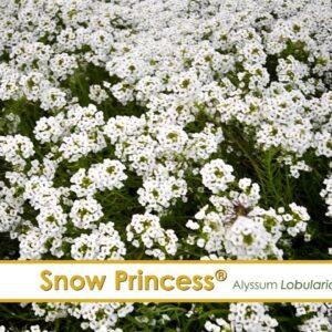 Snow Princess Lobularia--A P Allen Smith Favorite!