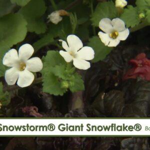 Snowstorm Giant Snowflake Bacopa-- A P Allen Smith Favorite!