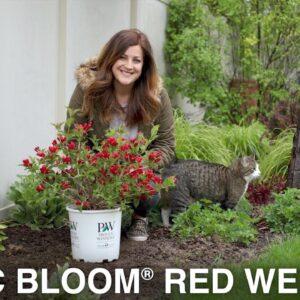 Sonic Bloom Red Weigela