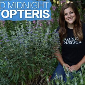 Spotlight: Beyond Midnight Caryopteris