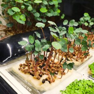 Starting a Microgreen Farm in the Middle of a Bustling City