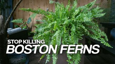 Stop Killing Your Boston Ferns! Full Care Guide
