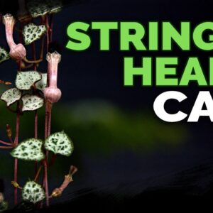 String of Hearts Care: Successfully Grow Ceropegia Woodii