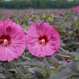 Summerific Hibiscus from Proven Winners