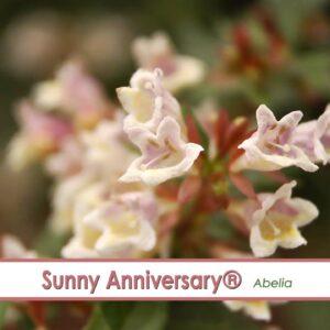 Sunny Anniversary Abelia-- A P Allen Smith Favorite!