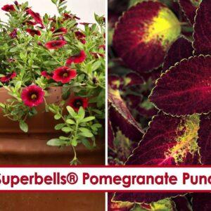 Superbells Pomegranate Punch Calibrachoa-- P Allen Smith Favorite!