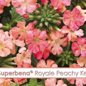 Superbena Royale Peachy Keen Verbena-- A P Allen Smith Favorite!