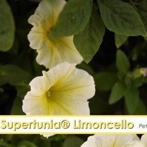 Supertunia Limoncello Petunia-- A P Allen Smith Favorite!