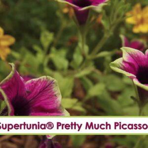 Supertunia Pretty Much Picasso-- A P Allen Smith Favorite!