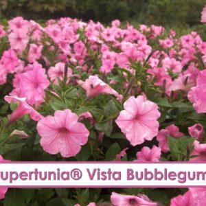 Supertunia Vista Bubblegum Petunia-- A P Allen Smith Favorite!