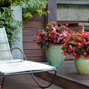 Surefire Begonias--Love the Shade and the Sun!