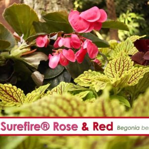 Surefire Rose and Surefire Red Begonia-- A P Allen Smith Favorite!