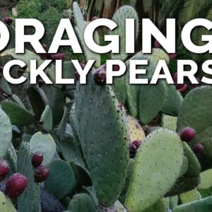 Survival Foraging for Prickly Pear Fruits!