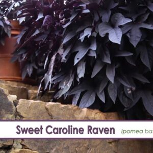 Sweet Caroline Raven Ipomoea-- A P Allen Smith Favorite!