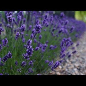 Sweet Romance Lavender--one year later