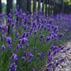 'Sweet Romance' Lavender Update! 💜🙌// Garden Answer