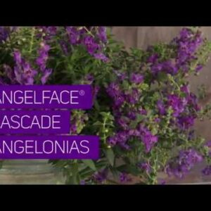 Take A Peek at our Angelface Cascade Angelonias!