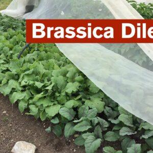 The Brassica Dilemma