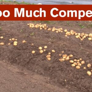 Too Much Competition for Potato Plants