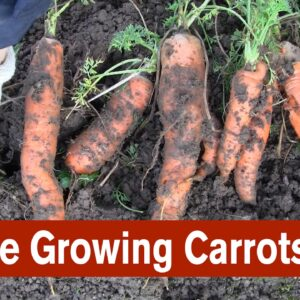 Trouble Growing Carrots in a New Garden