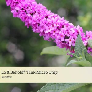 Variety Introduction: Lo & Behold® 'Pink Micro Chip'