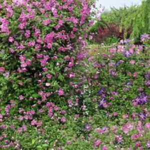 Variety Introduction: Pink Mink® Clematis