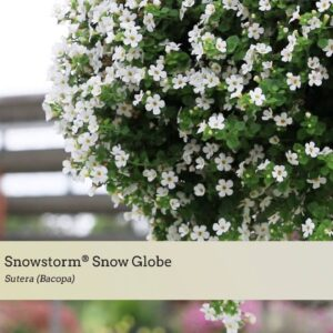 Variety Introduction: Snowstorm® Snow Globe and Snowstorm® Blue Bubbles