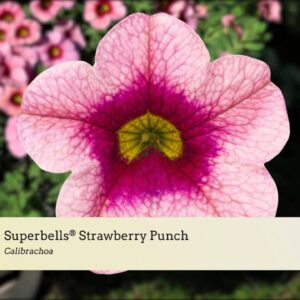 Variety Introduction: Superbells® Strawberry Punch, Frostfire, Cherry Red