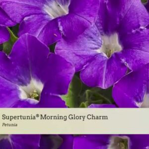 Variety Introduction: Supertunia® Charms