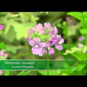 Proven Winners® Gardener Channel: Proven Winners® Innocence® Bluebird Nemesia