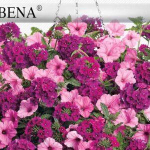 Proven Winners® Gardener Channel: Proven Winners® Superbena® Royal Silverdust