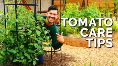 Tomato Care: How to Prune, Water, Support, and Fertilize for JUICY Tomatoes 🍅