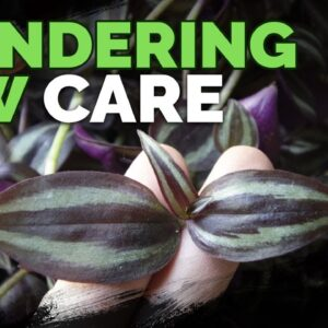 Wandering Jew Plant Care: Growing Tradescantia Zebrina