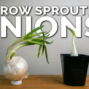 Weird Way to Regrow Onions For Better Results!
